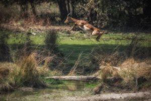Somatic Experiencing - Gazelle bounding