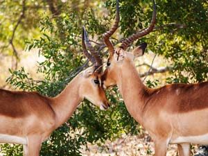 Antelopes bonding