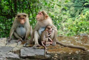 Family of three monkeys